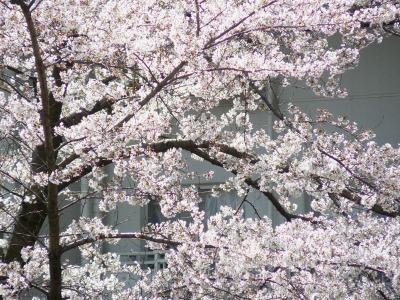 Sakura2_3