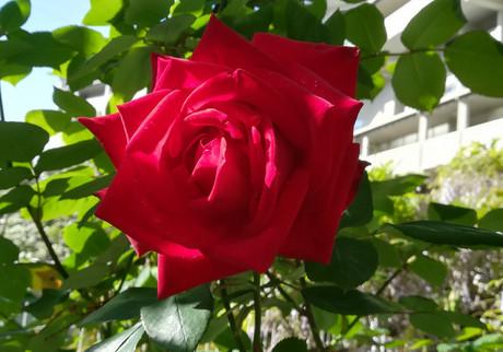 Rose1804_2