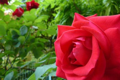Rose1_4