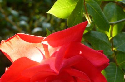 Rose1_5