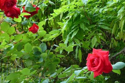 Rose2_3