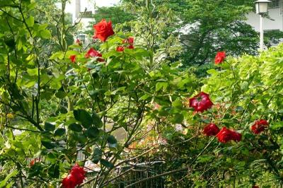 Rose3_1