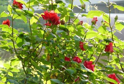 Rose85031