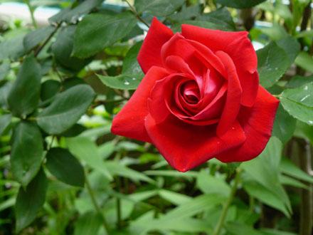 Rose85052