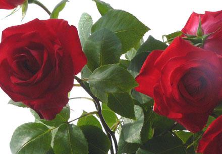 Rose85181