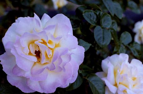 Rose7s