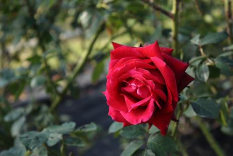 Rose2s