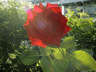 Rose1s