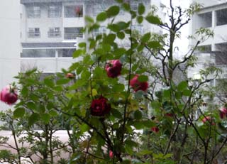 Rose_in_winter